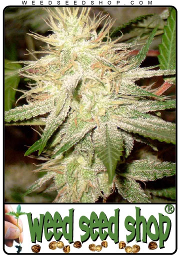 kaufen White Widow